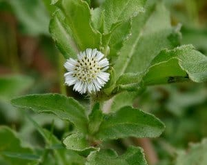Bhringraj or false daisy