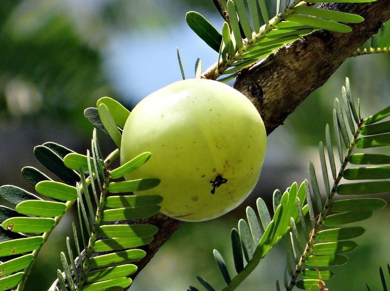 Amla or indian gooseberry for hair growth